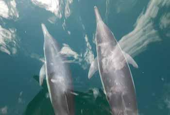 Dolphins bow-riding the ODA boat <em>Clearwater</em>