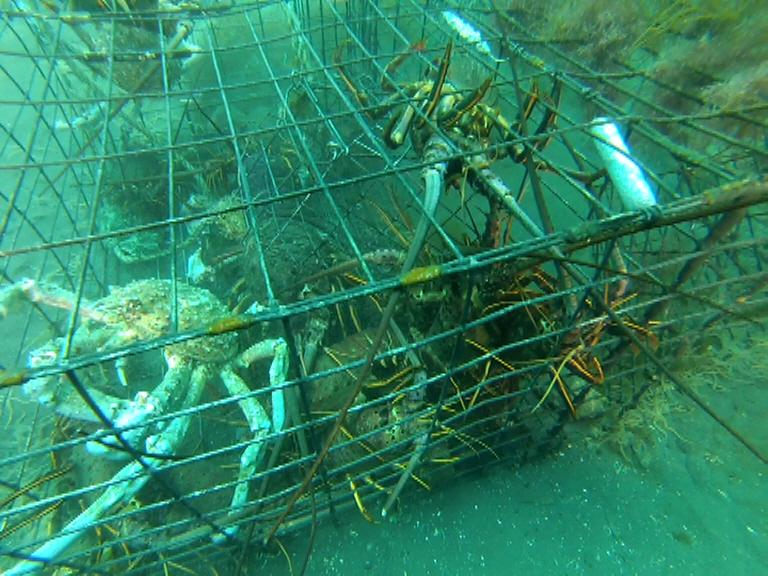Instinctively, the sheep crab and lobsters try to find a way out of this abandoned lobster trap.