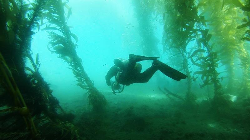 ODA Volunteer Diver Peter Fulks explores the beautiful kelp world as he heads to find an abandoned trap.