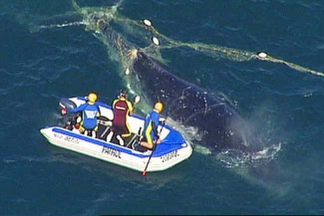 A grey mother whale and her calf entangled and killed in drift net