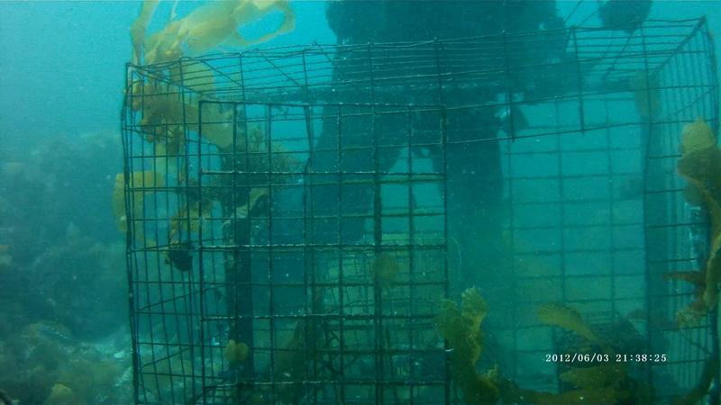 ODA removes huge lobster trap