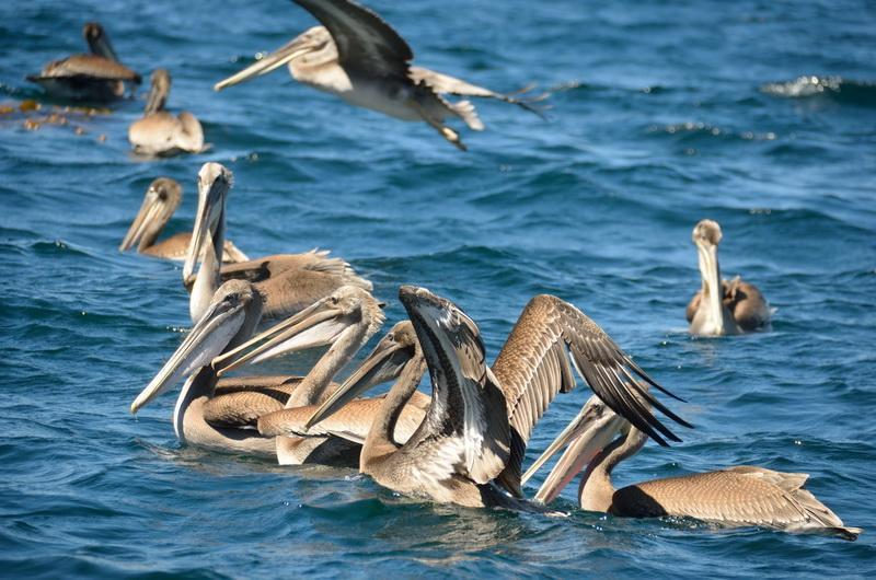 Pelicans will have more food because ODA remove fish-killing debris