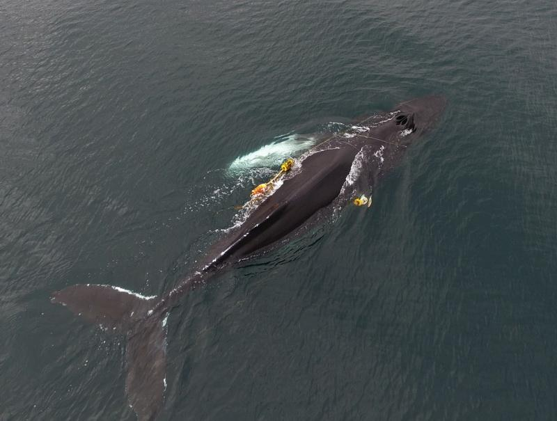 See the fishing gear entangled around this whale.