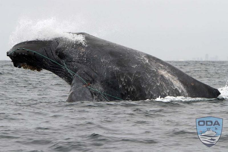 Humpback whale with blue line entangled from mouth to fin. Photo courtesy of our friend Mark Girardeau.
