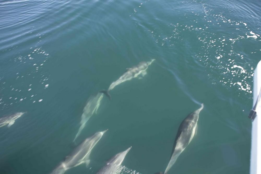 Common Dolphins at bow