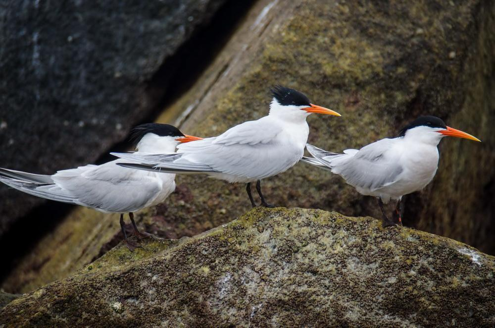 Caspian Terns in Orange County
