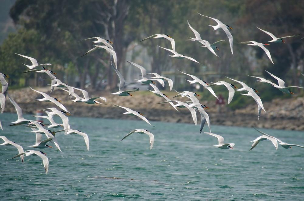 Caspian Terns in flight in Dana Point Harbor