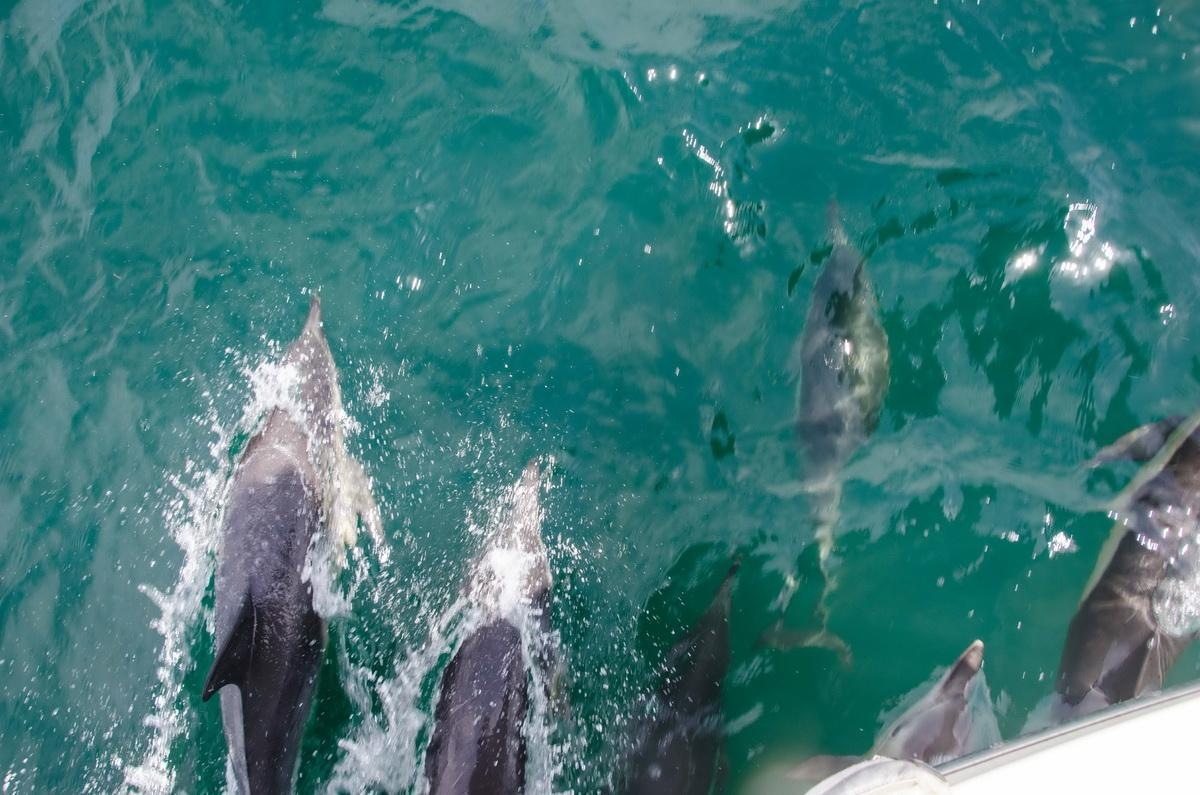 Common Dolphins bow riding