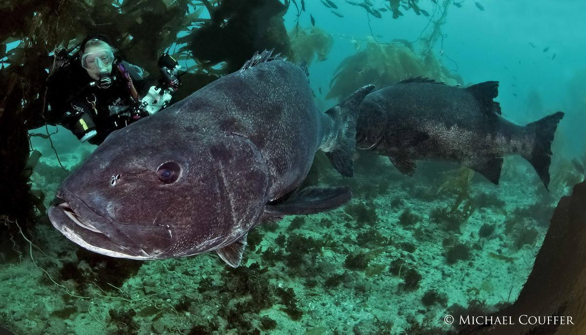 Adult GiantSea Bass