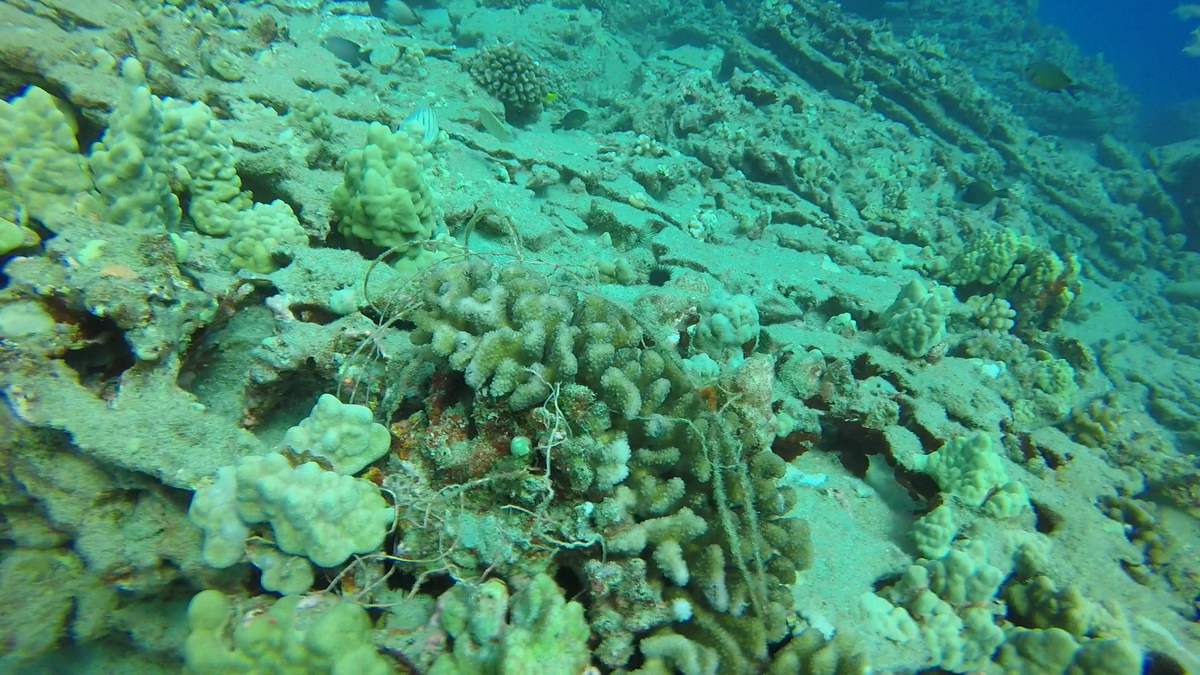 Coral head entangled with line